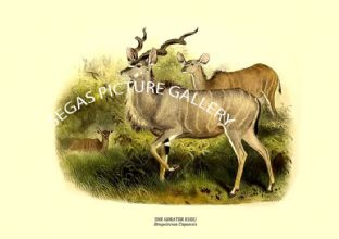 THE GREATER KUDU - Strepsiceros Capensis